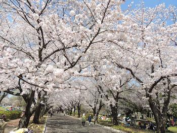 府中の森 桜 2.jpg